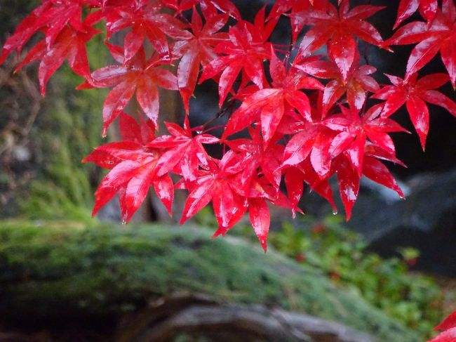 紅葉にぎりぎり間に合うかというタイミングで、新発田市内を観光してきました。<br />駅から徒歩で、時計廻りで観光し、最後に、市島邸まで足を延ばし、月岡温泉に泊まって、ゆっくりしてきました。<br />天気は、曇り時々雨。。。ということで、あまりよくありませんでしたが、雨の紅葉を楽しめました。翌日は、時ならぬ雪。びっくりしました。