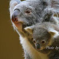 コアラの赤ちゃんを見に東山動物園へ!!
