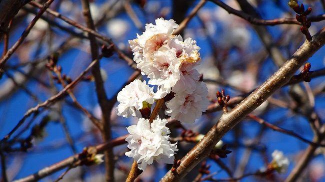 中巻からの続きです。<br /><br />写真は、スポーツセンターに咲く子福桜。