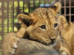 赤ちゃんライオン&ひまわりリベンジと桐生観光も少し