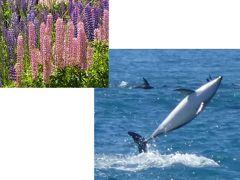 ドルフィンとルピナスに会いにニュージーランドへ ③カイコウラでドルフィン・スイミング