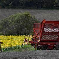 黄色い絨毯になる「パレットの丘」のひまわり畑(北海道千歳)