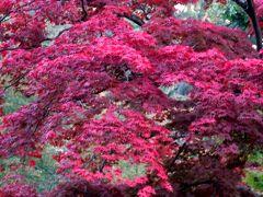 2017秋、道南と青森の名城巡り(20/31):10月25日(12):弘前城(4/4):山萩、岩木山、楓の紅葉、隅櫓、外周の桜の紅葉