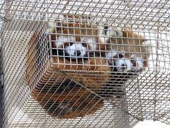 冬のレッサーパンダ紀行【8】 大島公園動物園&三島市楽寿園 日本唯一の島のパンダに今年も双子が誕生@大島 2日連続で楽寿園@三島