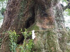 五所神社 七福神巡りを一度に出来ます? 巨大な楠