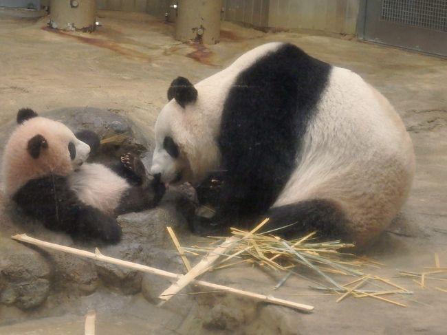 上野動物園のパンダに待望の赤ちゃんが生まれました!<br />生まれたその日から毎日ドキドキ・・やっと大きくなりましたー(第一子が早く死んでしまったので、とても心配でした)<br />そして、待ちに待った公開!・・は抽選ですって??<br /><br />もちろん応募しましたよ!応募したけど当たりませんよ、そりゃ・・・<br />と、クサッていたところ、フォートラmengさんから、夢のようなお誘いがーーーー<br /><br />なななんと、人にも動物にも優しく、清く正しく生きてきたmengさんには、当選通知が来たというのです。<br />そして、5人枠の一人分空いているからどうですか?と・・<br />mengさん、神!(笑)<br /><br />ありがたくお誘いをお受けすることにしたのはいいけど、そこからの緊張の日々ったらもう・・・(考えるだけでおなかが痛くなるw)<br />お正月も暴飲暴食を控え(たつもり)外出から帰ると念入りな手洗いとうがいを続け、なんとか風邪もひかずに迎えた当日!<br />あぁ、神様仏様meng様、ありがとう!!!