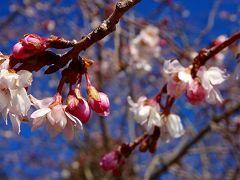 西宮市 北山緑化植物園へ、十月桜と蝋梅を見に行く 上巻。
