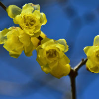 花フェスタ記念公園へ「蝋梅」ロウバイを探して〃