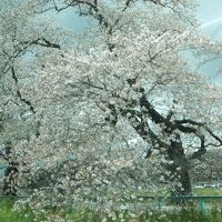 仙台から一ノ関、白石城。桜の名所がありました。