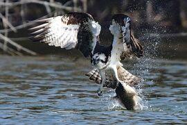 ミサゴの狩りに魅せられて、名古屋市内の池に通い写真撮影