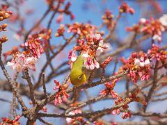 急に思い立って、小田原城とあたみ桜。