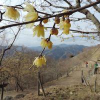 蝋梅咲く早春の宝登山へ♪
