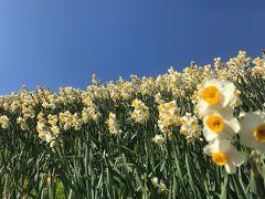 丘一面に水仙の香り広がる、野母崎へのドライヴ