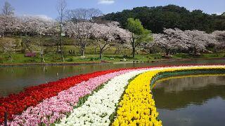 浜松フラワーパーク、桜とチューリップの競演