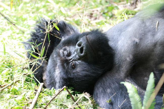 12月中旬に10日間の日程で東アフリカに野生動物を見る一人旅に出かけました。<br />ルワンダとウガンダ両方のゴリラトレッキングに参加したかったので、<br />既存のツアーではなく、ウガンダで日本人が経営されている旅行会社  グリーンリーフツーリストさんに旅のアレンジをお願いしました。<br /><br />2017/12/15 成田発 ドバイ経由  <br />          12/16  ルワンダ キガリ着<br />           12/17  ゴリラトレッキング<br />           12/18   ウガンダへ<br />