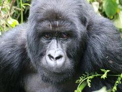 野生のゴリラに会いに行ってきた!  ②ルワンダ ヴォルカン 国立公園 ゴリラトレッキング 編