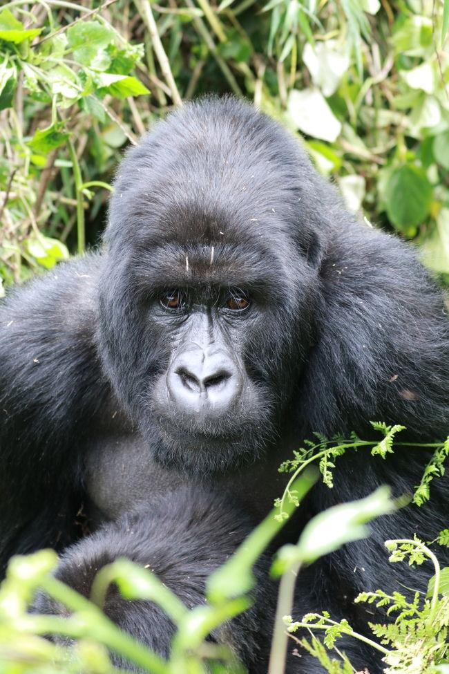 12月中旬に10日間の日程で東アフリカに野生動物を見る一人旅に出かけました。<br />ルワンダとウガンダ両方のゴリラトレッキングに参加したかったので、<br />既存のツアーではなく、ウガンダで日本人が経営されている旅行会社  グリーンリーフツーリストさんに旅のアレンジをお願いしました。<br /><br />2017/12/15 成田発 ドバイ経由  <br />          12/16  ルワンダ キガリ着<br />          12/17  ゴリラトレッキング<br />          12/18   ウガンダへ