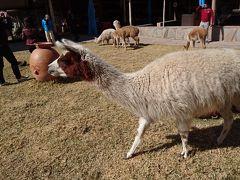 ペルーアンデス紀行14 インカの動物 アルパカ・ビクーナ・ラマ・テンジクネズミetc=標高4335mを越えて