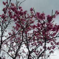 桜マラソンに出るため寒波の中の奄美大島へ 桜は咲いているが寒い!