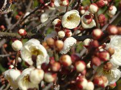 須磨離宮公園を歩く 第3巻 梅園の中の蝋梅を除くお花。