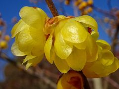 須磨離宮公園を歩く 第4巻 梅園の中の蝋梅のお花。