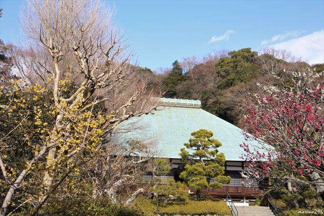 「東風吹かば 匂いおこせよ梅の花・・・」ではありませんが、<br />鎌倉の梅は、一番早く咲くといわれる荏柄天神社を筆頭に、例年2月中旬から3月上旬が見頃と言われます。<br />立春を過ぎ、陽射しは春めいてきたので、梅の開花状況が気になり出掛けてみました。<br />この旅行記は、2月7日と2月11日の2日分をまとめてUPしています。<br /><br />2月7日<br />神奈川県立金沢文庫(運慶展)を見学した後、鎌倉へ移動。<br />大巧寺→本覚寺→妙本寺→常栄寺(ぼたもち寺)→鶴岡八幡宮→英勝寺→海蔵寺<br />2月11日<br />浄妙寺→報国寺→旧華頂宮邸→宝戒寺<br /><br />表紙の写真は、2月11日の浄妙寺です。