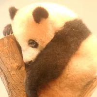 シャンシャンは お昼寝中zzz…だけど可愛かった! パンダ人気で大行列の上野動物園