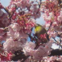 熱海に桜と梅を観に行くよっ!