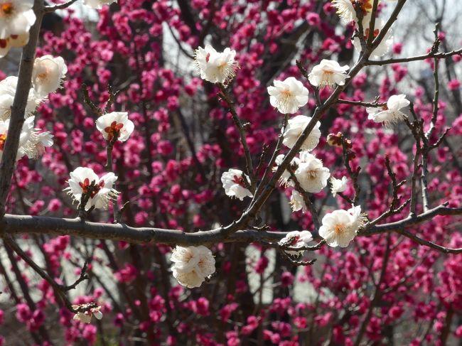 世田谷区の「羽根木公園」で開催されている「せたがや梅まつり」に行ってきました。早い木は見頃を過ぎていますが、まだ咲き始めていない木もあります。全体的には4分咲きくらいです。梅林は丘の斜面なので、散策路の上り下りで変化のある景色を楽しめます。<br /><br />ホームページによると、2月13日現在、650本の梅の木のうち295本が開花しているとのことなので、開花率は45%です。<br /><br />旅行記作成に際しては、現地で頂いたパンフレット、現地の説明板、ホームページ等のネット情報を参考にしました。