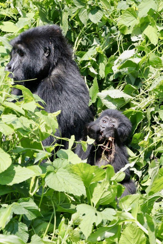 12月中旬に10日間の日程で東アフリカに野生動物を見る一人旅に出かけました。<br />ルワンダとウガンダ両方のゴリラトレッキングに参加したかったので、<br />既存のツアーではなく、ウガンダで日本人が経営されている旅行会社 グリーンリーフツーリストさんに旅のアレンジをお願いしました。<br /><br />2017/12/15 成田発 ドバイ経由 <br />12/16 ルワンダ キガリ着<br />12/17 ヴォルカン国立公園ゴリラトレッキング<br />12/18 ウガンダへ陸路で移動<br />12/19 ブウィンディ国立公園ゴリラトレッキング