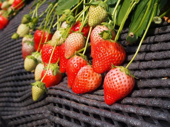 とびっきり美味しい、いちご狩りに行きたい!!<br />というわけで、日帰りはとバスツアーで栃木県へ。<br /><br />はとバスツアーのパンフを吟味し、いちご重視で高級苺のスカイベリー食べ放題をセレクト!甘くて大きくてジューシーな苺!<br />とーっても美味しくて大大大満足!!!<br /><br />日光東照宮は、さすが国宝!やはり圧巻の装飾でした!もっとゆっくり見たかった~!<br /><br />個人旅行で行き先をあれこれ考えるのも大好きだけど、ぜーんぶ決まってて連れて行ってくれるバスツアーは何と言っても楽!!!自分で企画する暇がなくても、手軽に旅行に行けていい!また利用したいな(^^)<br /><br /><br />旅程<br />8時 浜松町出発<br />いちごの里 スカイベリー30分食べ放題!<br />磐梯日光店 昼食<br />日光東照宮など散策<br />日光カステラ本舗 スイーツ食べ放題<br />19時 東京駅解散
