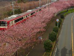 鎌倉一早咲きの梅と昼夜2つの河津桜。