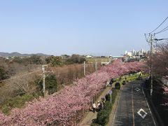 花を求めて① 河津桜を見に三浦海岸へ