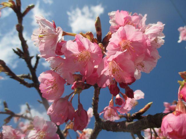 何年越しかの密かな夢、「河津桜が見たい」「南伊豆フリー乗車券を使って旅をしたい」「お誕生日割引でお得に宿泊したい」の3つを叶えるため、金曜日に振休を取って、金~土曜の1泊2日で伊豆へ行ってきました。