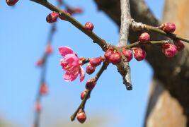 2018早春、やっと花一輪の枝垂れ梅(2/4):2月23日(2):名古屋市農業センター、枝垂れ梅、ハクモクレン、日本水仙