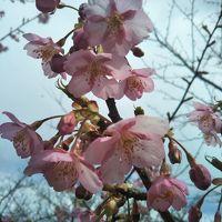 平成30年 聖崎公園の河津桜と半島巡り