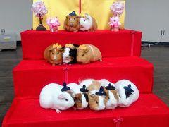 モルモットのひな壇可愛い~♪レッサーパンダの風太君に会えた千葉市動物公園☆