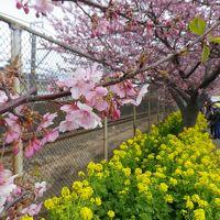 2018早春の神奈川県で昼夜2つの河津桜と早咲きの梅