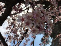 三連休の伊豆修善寺 早咲きの桜