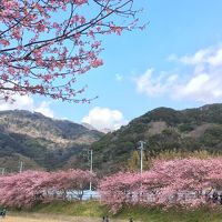 今年は少し開花が遅い感じの河津桜