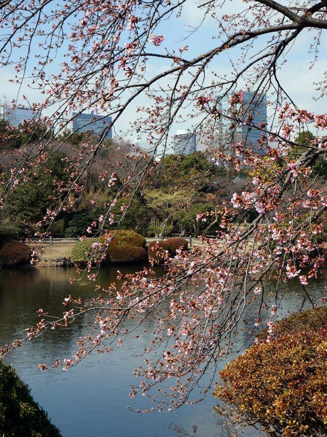 2月27日、新宿御苑にやって来ました。<br /> 先日の小石川後楽園の梅が見頃だったので、新宿御苑の梅も見頃であろうと推察しての訪問です。<br />推察通り梅は満開、しかも梅園は3ヶ所もあり堪能します。<br />緋寒さくらも咲いて居ました。<br />梅と桜の2大競演です。<br /> 御苑の広さは18万坪、行く度に何か新しい発見があります。<br />では御一緒しましょう。<br /><br /> 表紙の写真は池越しに望む新宿高層ビル群、咲いているのは緋寒さくら