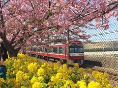 春を探して三浦半島 河津桜と梅、まぐろを満喫!