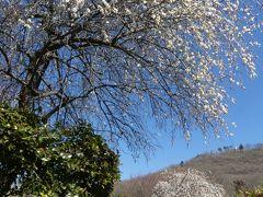 みかも山万葉庭園のウメ_2018_まだ2~3割、見頃はもう少し先です。(栃木県・佐野市)