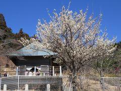 2018春、静岡西部の梅の名所(1/10):3月2日(1):奥山高原(1):名古屋からバスで浜松へ、蕾の昇竜枝垂れ梅、紅白梅のアーチ