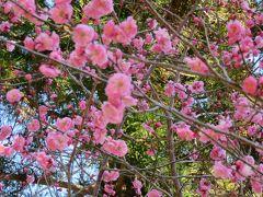 2018春、静岡西部の梅の名所(2/10):3月2日(2):奥山高原(2):宮口小梅、八重松島、蕾の昇竜枝垂れ梅