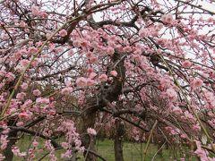 2018春、三分咲の枝垂れ梅(1/4):3月3日(1):名古屋市農業センター、マンサク、千鳥枝垂れ、緑萼枝垂れ、呉服枝垂れ、玉垣枝垂れ