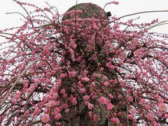 2018春、三分咲の枝垂れ梅(2/4):3月3日(2):名古屋市農業センター、茶席、給水塔、緑萼枝垂れ、呉服枝垂れ、玉垣枝垂れ