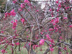 2018春、三分咲の枝垂れ梅(4/4):3月3日(4):名古屋市農業センター、緑萼枝垂れ、呉服枝垂れ、千鳥枝垂れ、一重緑萼枝垂れ