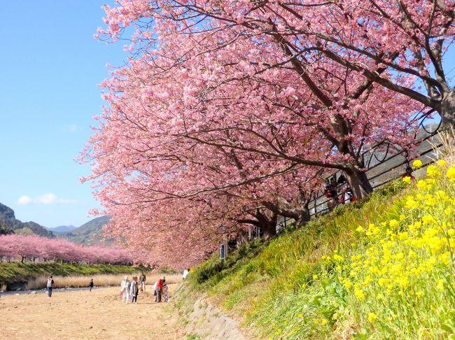 ここ数年行ってみたいと思いつつ、日帰りではやや遠いし、行くなら泊まって夜桜も見たいな~となかなか足を運べずにいた河津桜まつり。<br /><br />今年は寒さで満開が遅れて、ちょうど出かけるのに都合のいい日程で満開を迎えた。天気も良さそうなことだし、夜桜が見れなくても思い切って日帰りで行ってみよう!と出かけてきました。<br /><br />行きは普通電車を乗り継ぎ、熱海からリゾート21に乗って念願の河津へ。ピンク色の可愛い河津桜が川沿いに約3キロも続く桜並木は圧巻!!<br /><br />天気のいい週末とあって、桜も凄いが人も凄かったので、、人が少な目の上流に向かって歩き、途中、峰温泉大噴湯公園に立ち寄りつつ、桜並木のほぼ端っこの峰小橋まで歩いて折り返してきました。<br /><br />今回の旅のもう一つの目的は2018年1月から11月まで開催されている「御朱印さんぽ」というイベント。河津編では9種類の御朱印が紹介されており、その中から、寝釈迦像が祀られ、桜の見晴し台がある沢田涅槃堂、河童の伝承が残る栖足(せいそく)寺の2か所を訪れて御朱印をいただきました。こちらも素敵な御朱印をいただけて大満足♪<br /><br />お花見日和でいい1日を過ごせました。よろしければご覧ください~。