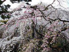 2017年 4月3日 京都 その5 京都御苑で糸桜や梅の花を見る。